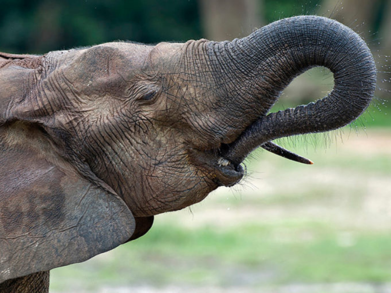 Forest Elephant - Central African Republic