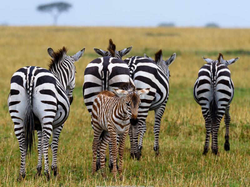 Zebras Serengeti Roger de la Harpe