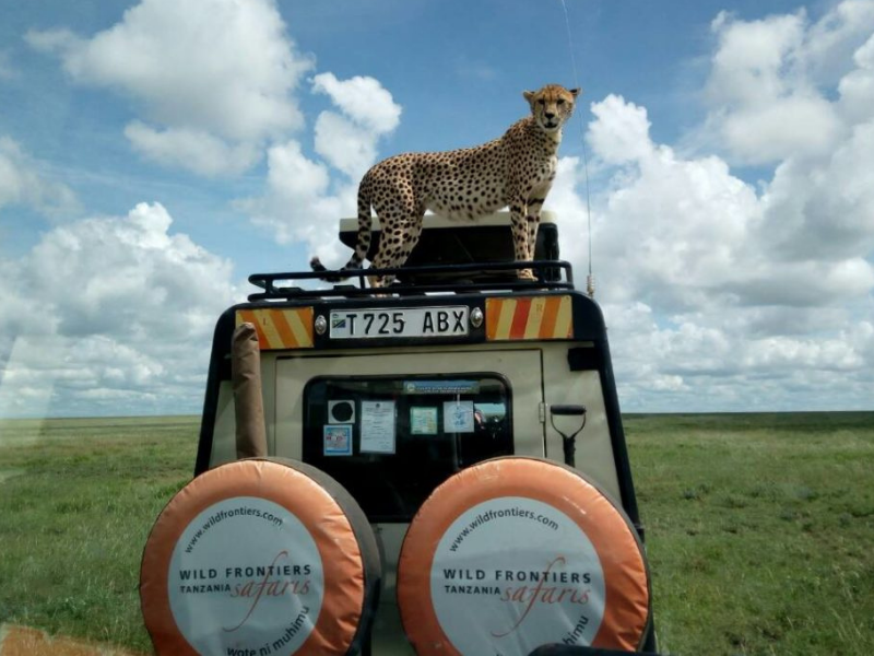 Cheetah on vehicle Tanzania