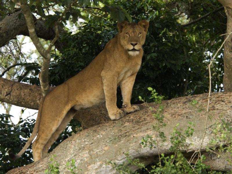 Ishasha Lioness