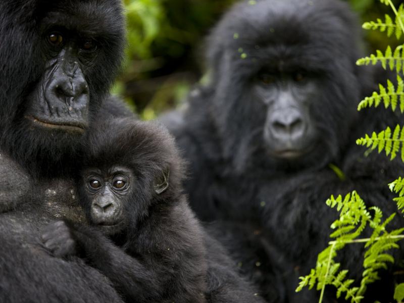 Gorillas - RDB Official Pics