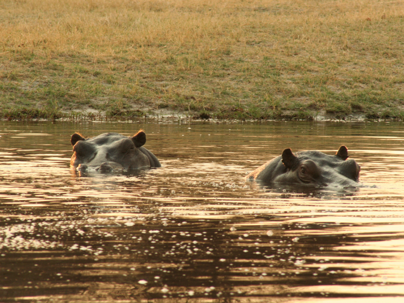 Hippos - Sunway Safaris - Botswana