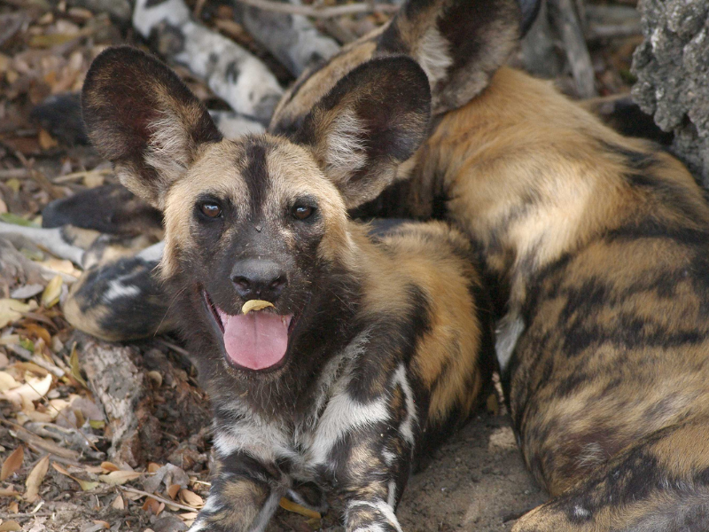 Wild Dog - Sunway Safaris - Botswana