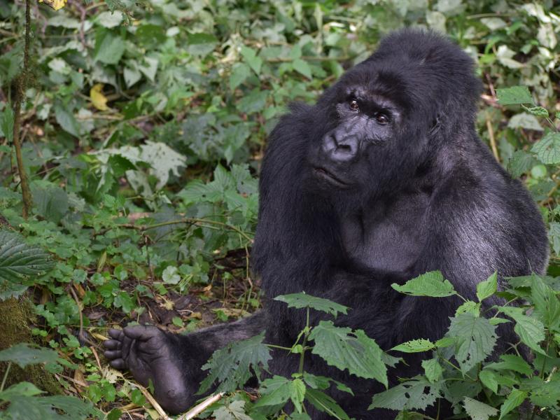 DRC Gorilla