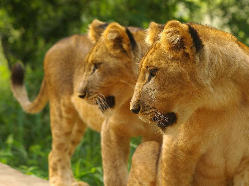 zimbabwe_wildlife_lion04