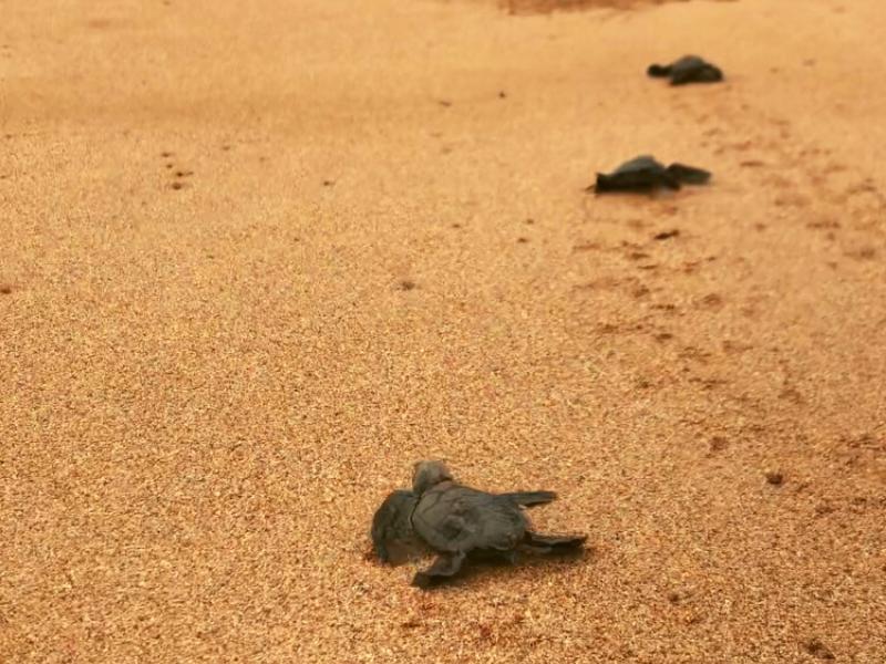 Baby turtles - Sao Tome