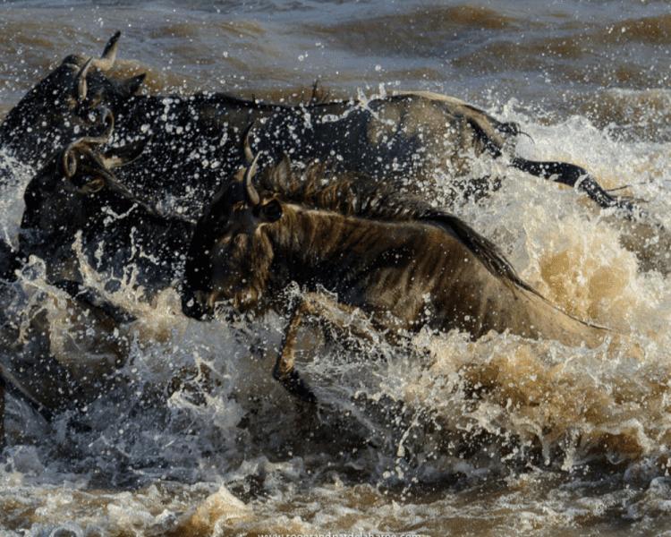 Wildebeest River Crossing by Roger and Pat de la Harpe