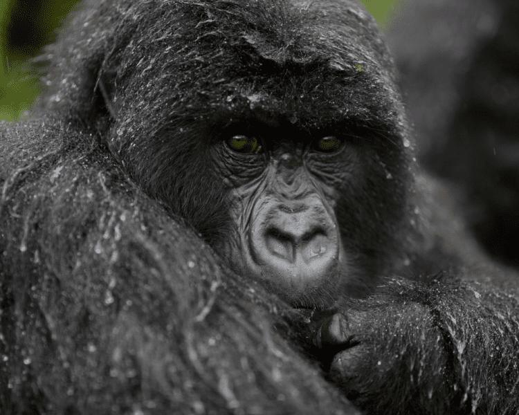 uganda_wildlife_gorillas_bwindi_27
