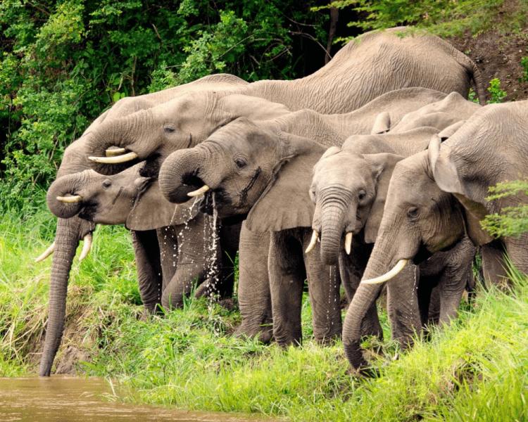 uganda_wildlife_elephants_ishasha_02
