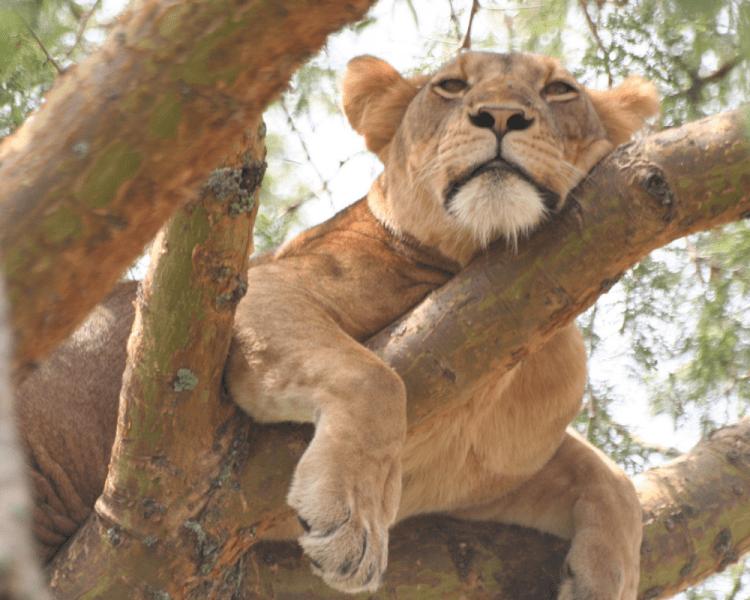 Ishasha Lioness - Uganda Safari