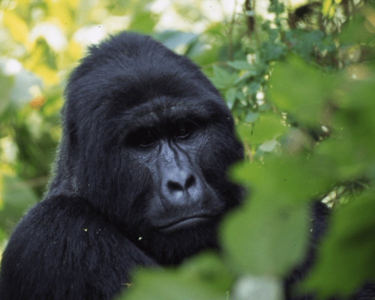 Gorilla - Rwanda