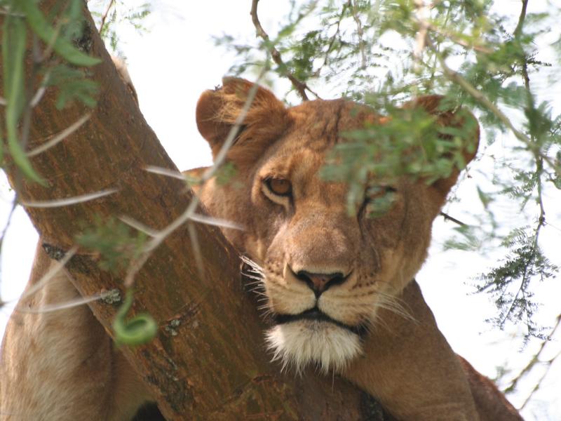 Lioness in tree - Ishasha - Queen Elizabeth National Park
