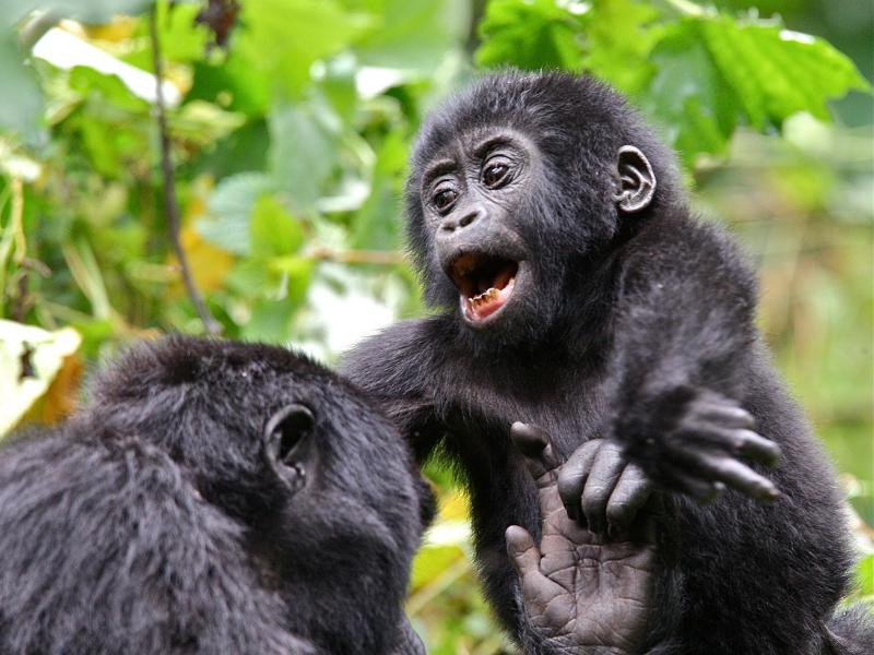 Gorillas - Uganda