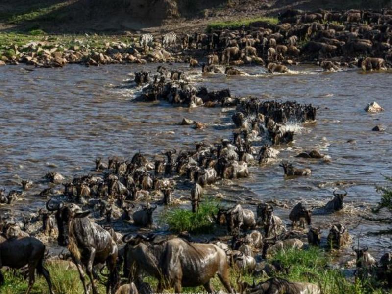 Wildebeest Crossing - Northern Serengeti