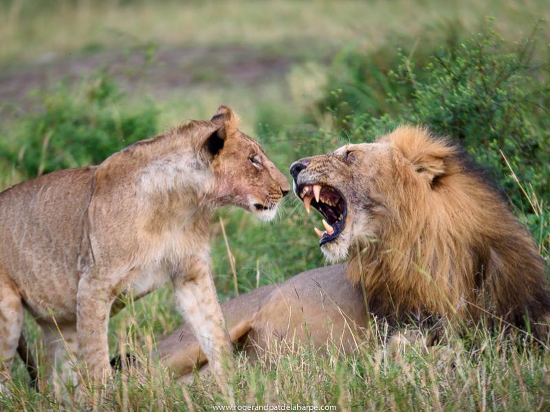 Lions - Serengeti - Roger and Pat de la Harpe
