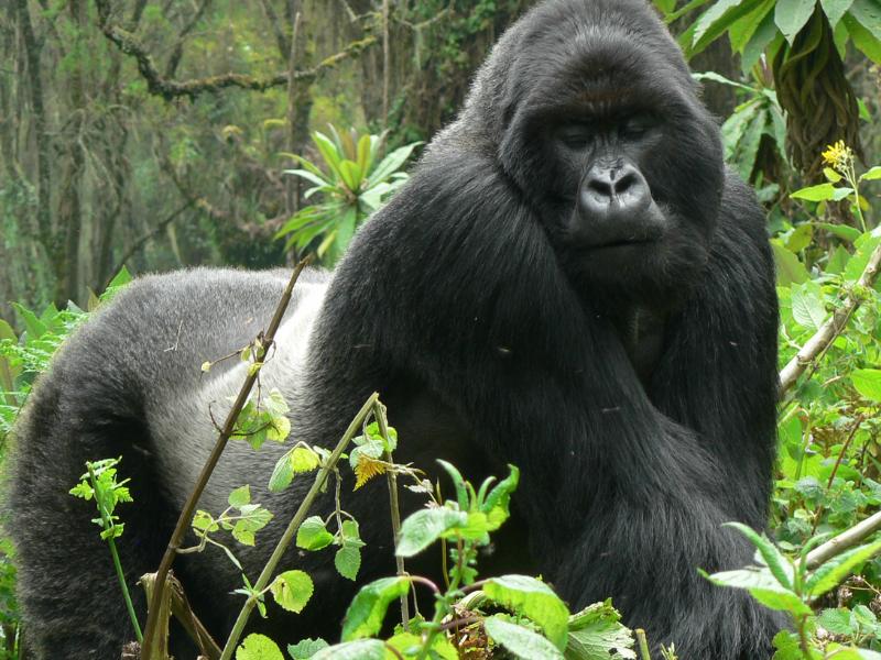 Rwanda Gorillas-RDB (7)