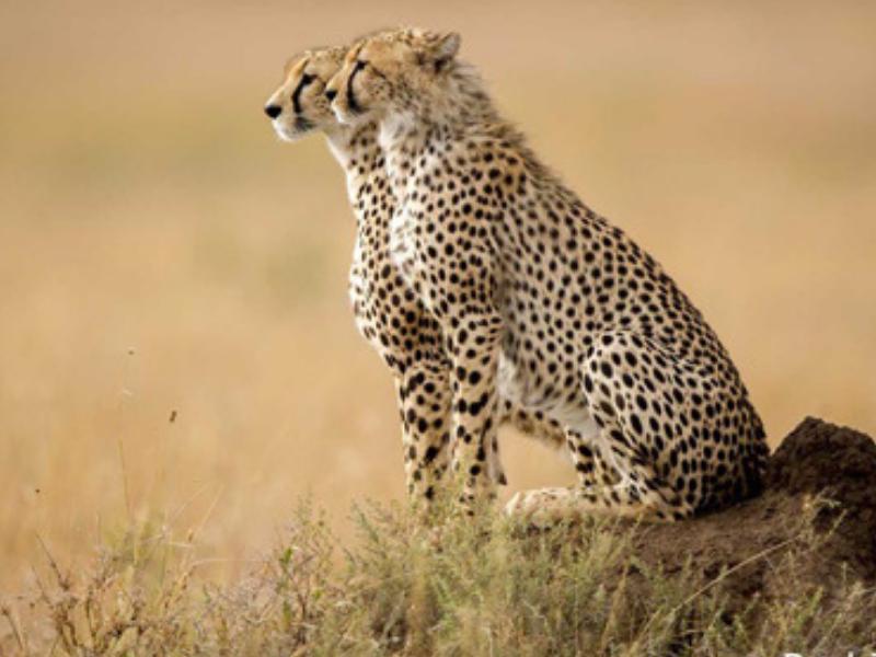 Cheetah in Serengeti - By Paul Joynson-Hicks