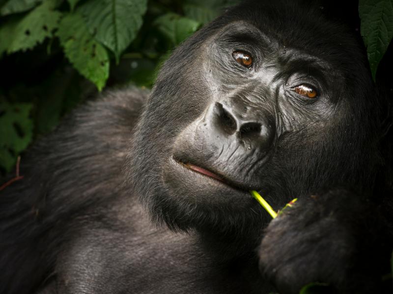 uganda wildlife gorilla bwindi Credit RogerDeLaHarpe