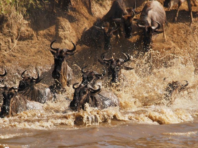 Wildebeest Crossing - Serengeti North